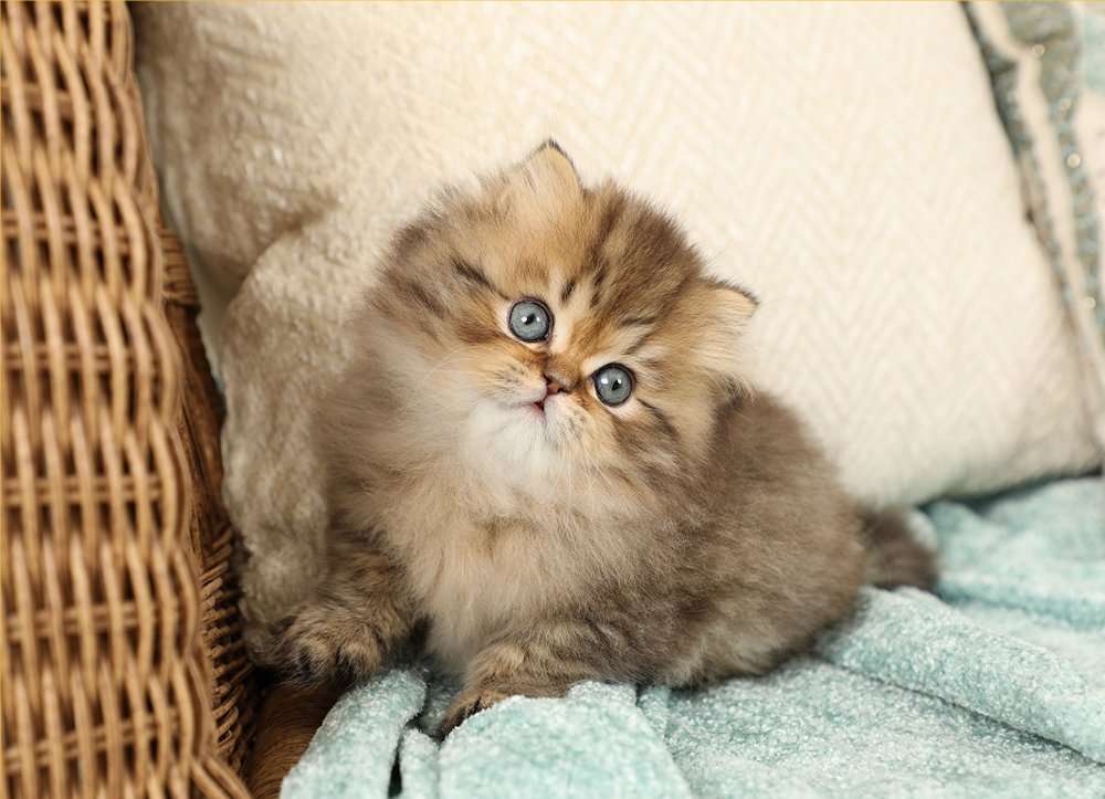 Shaded Golden Doll Face Persian Kitten