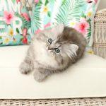 Silver Tabby Persian Kitten