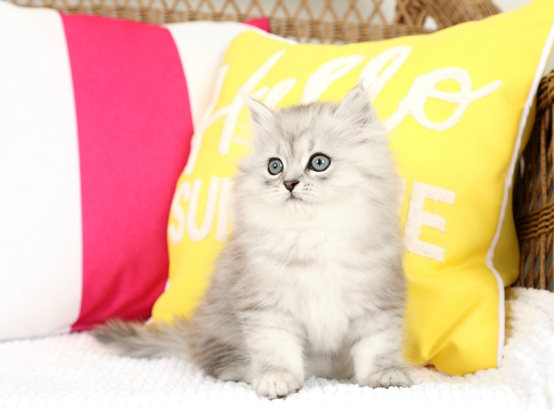 Shaded Silver Persian Kitten
