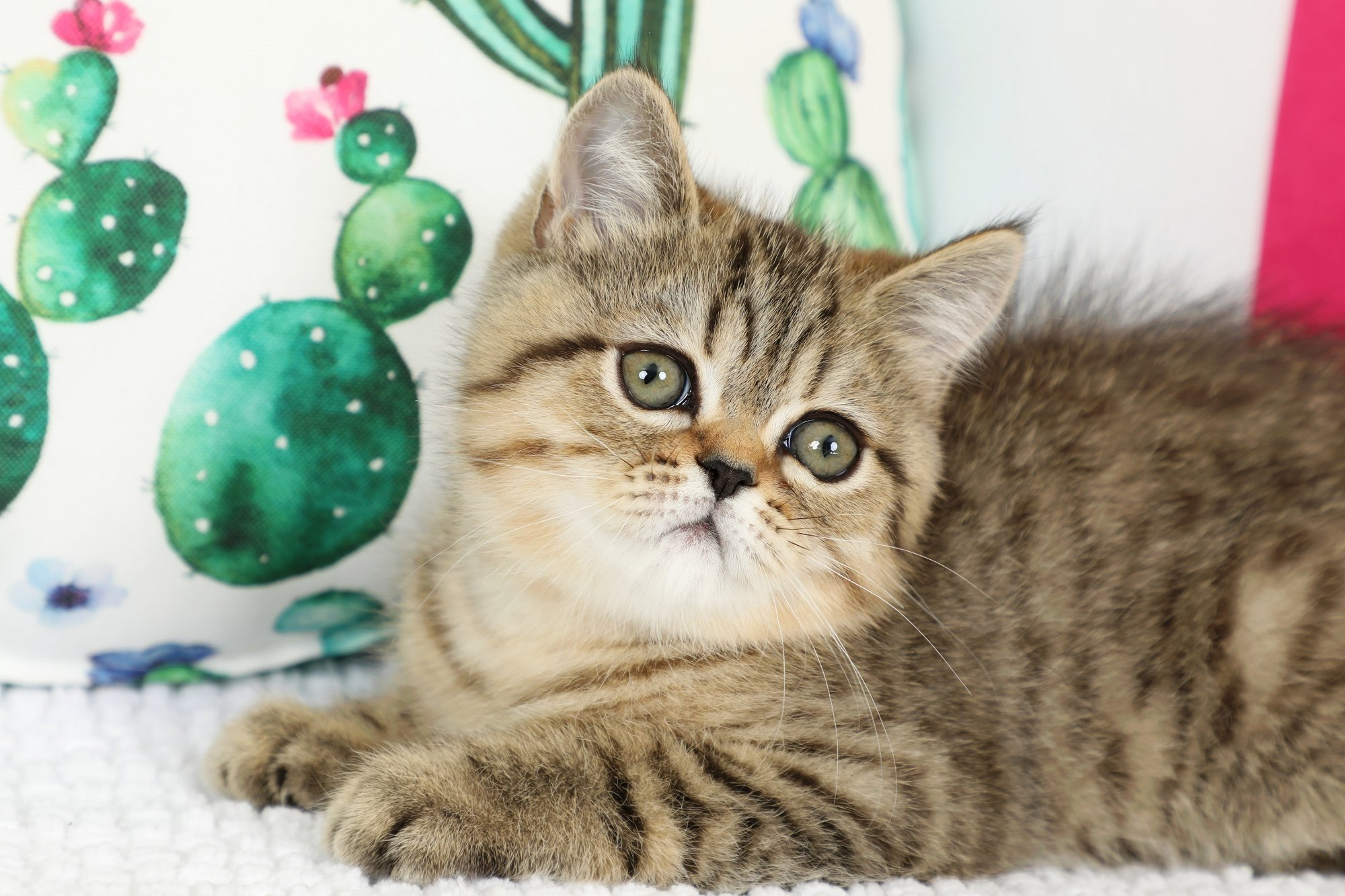 Exotic Shorthair Kitten