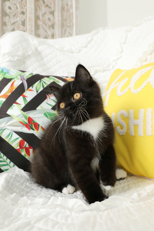 Tuxedo Exotic Shorthair Kitten