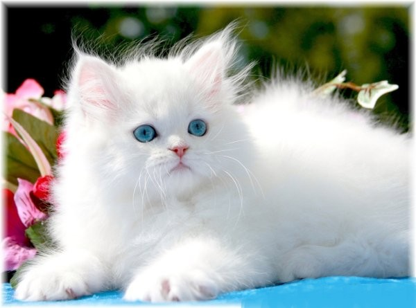 White Persian Kittens | White Persian Cats | Pure White