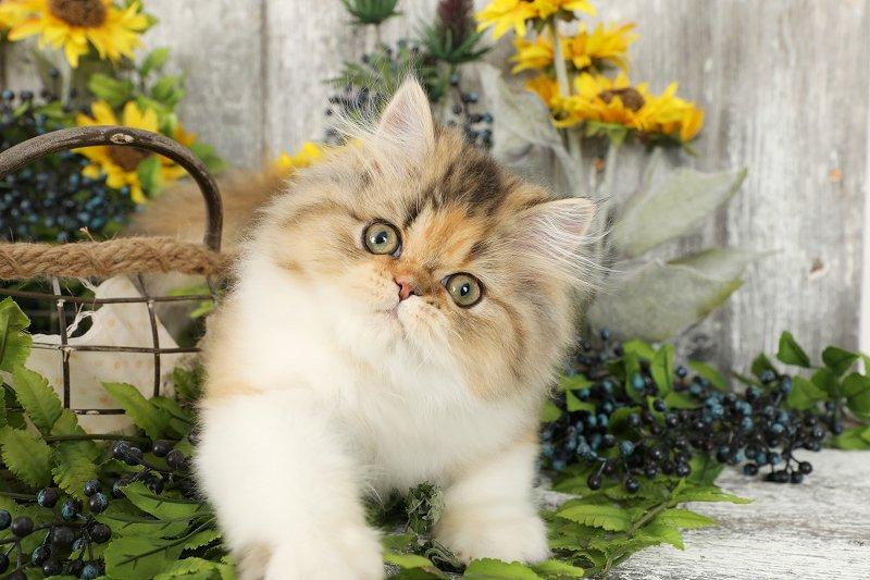 Calico Persian Kitten