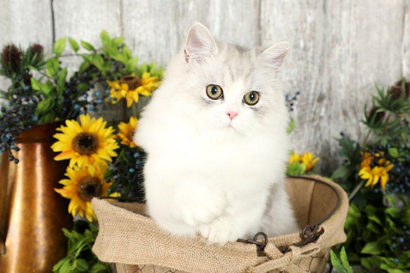 Silver & White Bicolor Persian Kitten