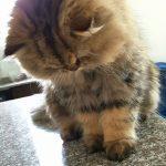Doll Face Persian Kittens Reviews – Tripodi Family