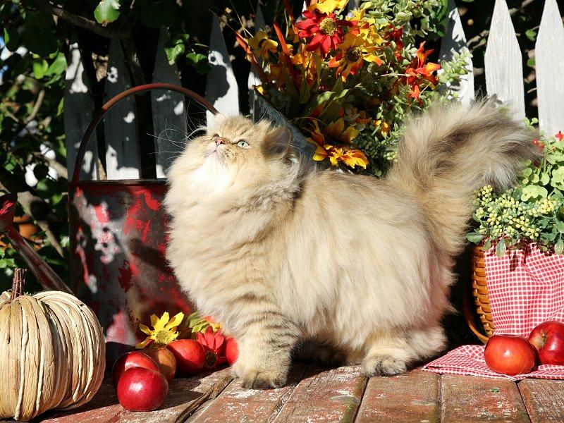 Golden Persian Kitten