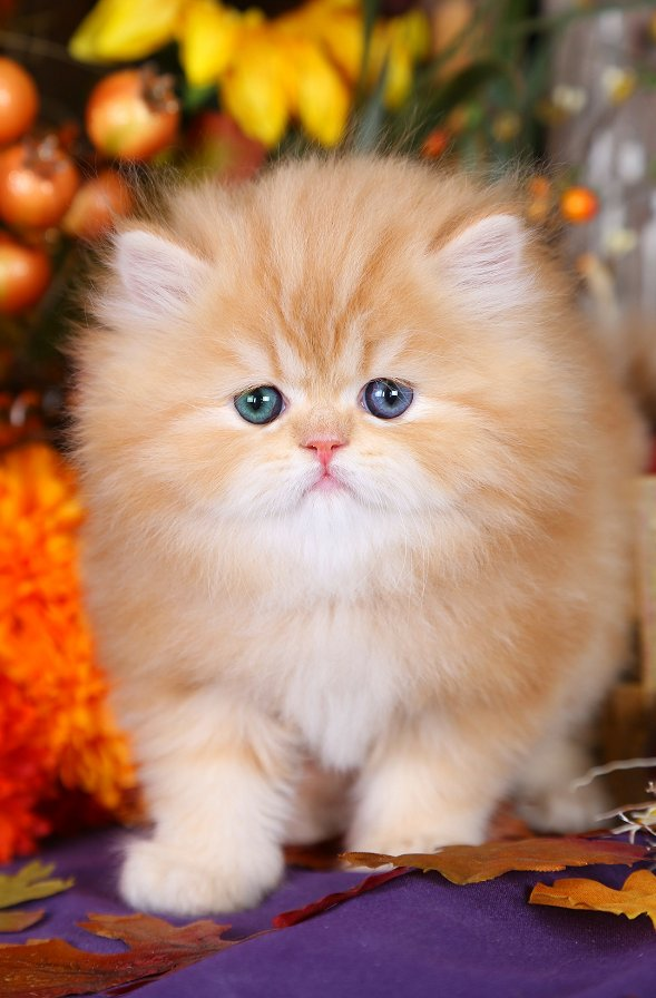 Copyright Doll Face Persian Kittens