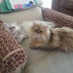 Doll Face Persian Kittens Reviews – Jade & Jolene