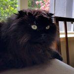 Doll Face Persian Kittens Testimonials – The Hanley Family