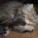 Doll Face Persian Kittens Reviews – The Danelius Family