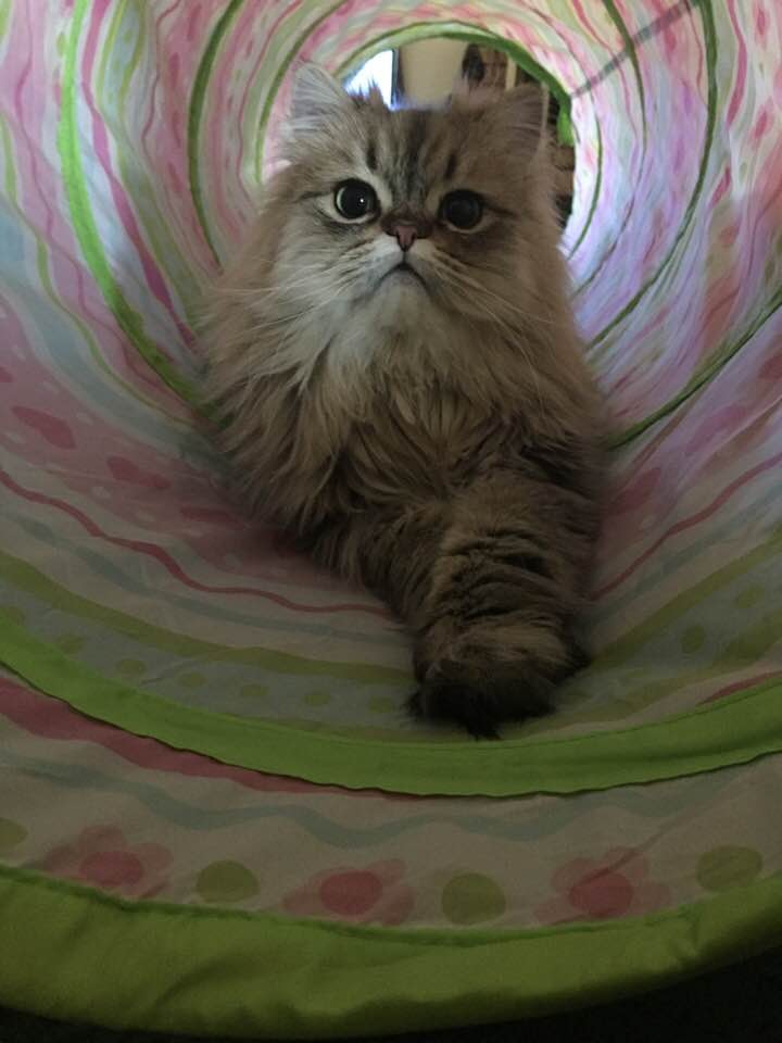 Doll Face Persian Kittens Pictures