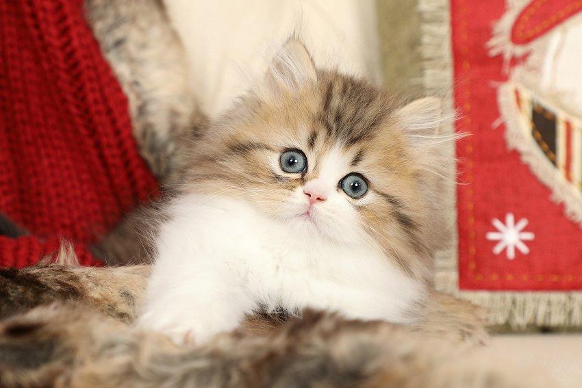 Golden & White Persian Kitten
