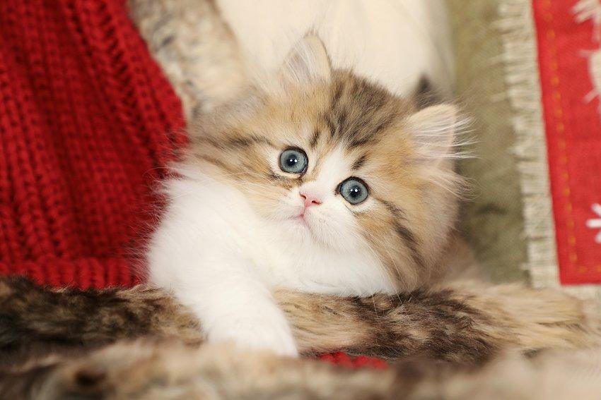 Golden & White Kitten