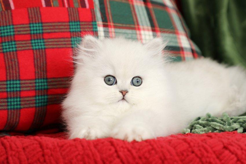 Chinchilla Silver Kitten