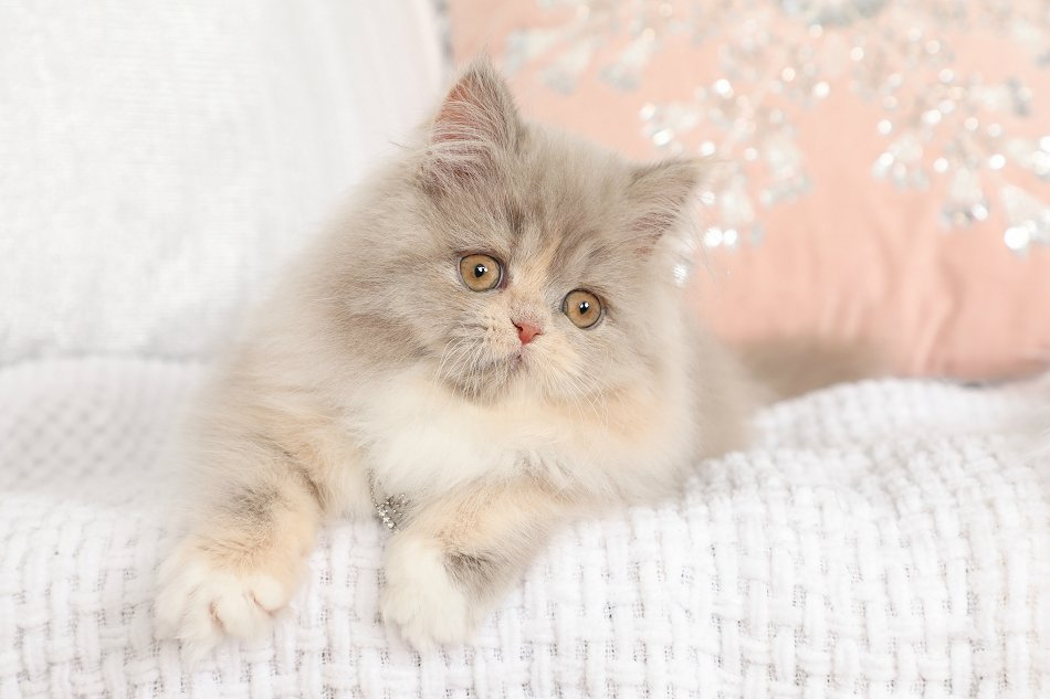 Lilac Persian Kittens Lilac Persian Cats Lilac Persians The Lilac Persian Catdesigner Persian Kittens For Sale Luxury Kittens 660 292 2222 660 292 1126 Shipping Available