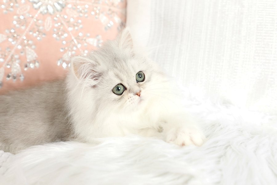 Silver Chinchilla and White Teacup Persian Kitten