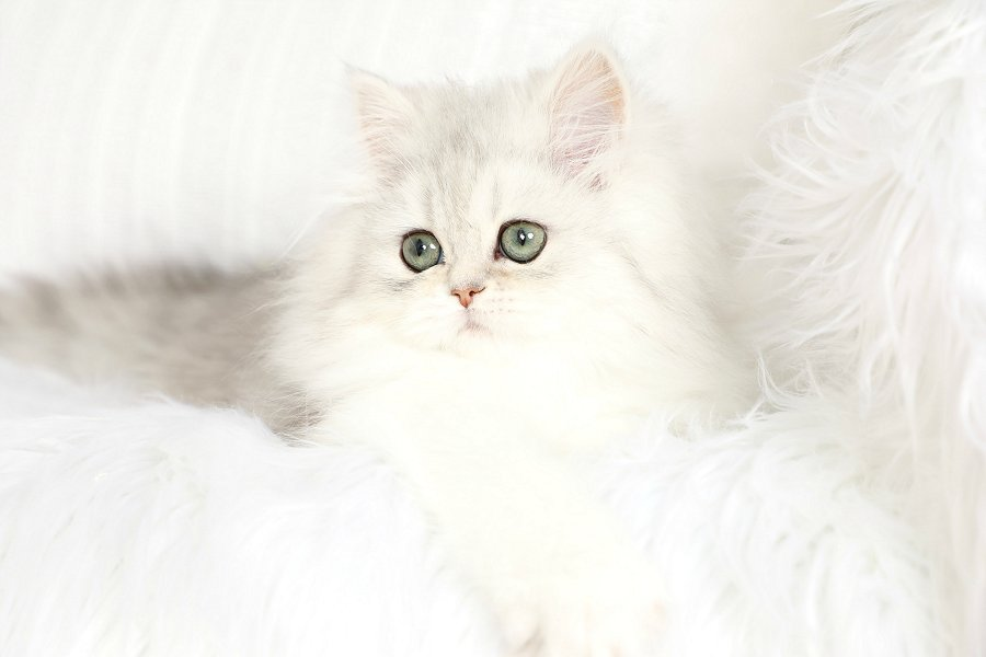 Teacup Persian Kitten