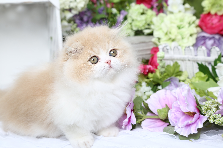 ULTRA RARE Persian Rughugger Fold Kitten