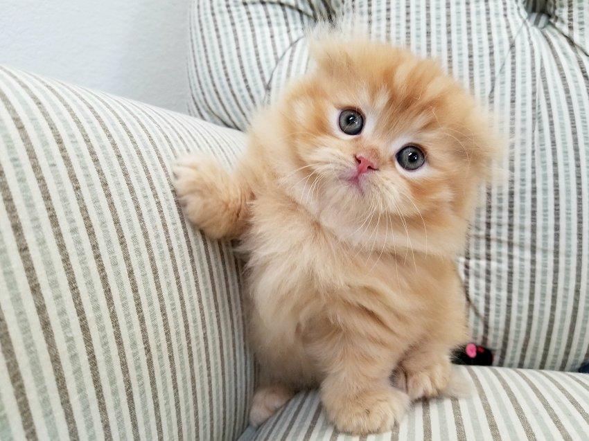 ULTRA RARE Rug Hugger Fold Kitten