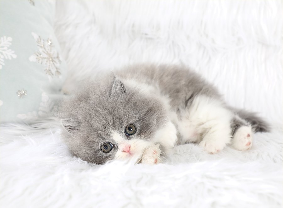 Blue and white Bicolor Persian Kittens | Gray and white Bicolor