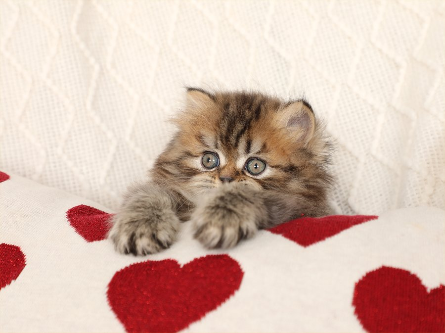 Shaded Golden Doll Face Kitten