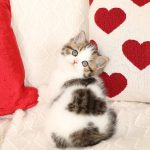 Golden and White Bicolor Exotic Shorthair