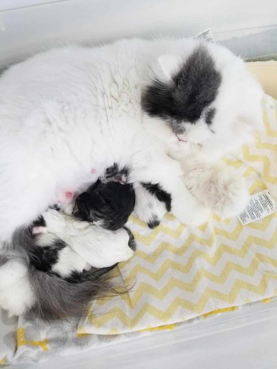 Newborn Persian Kittens