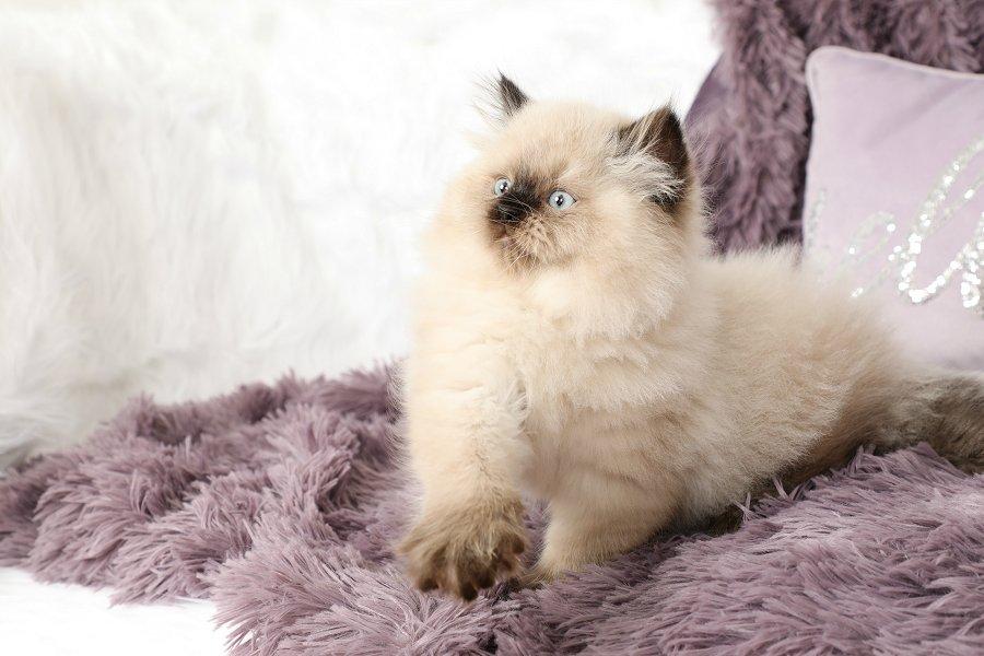 Seal Point Himalayan Kitten