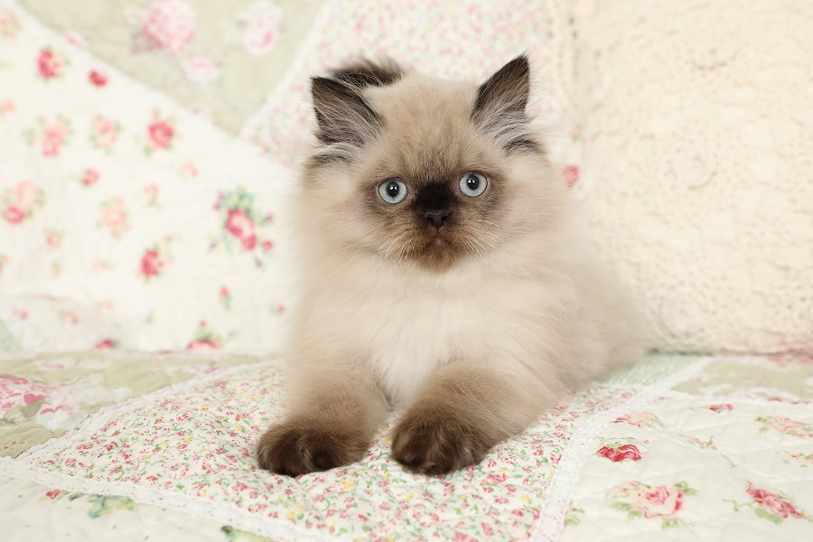 Seal Point Himalayan Kitten for Sale