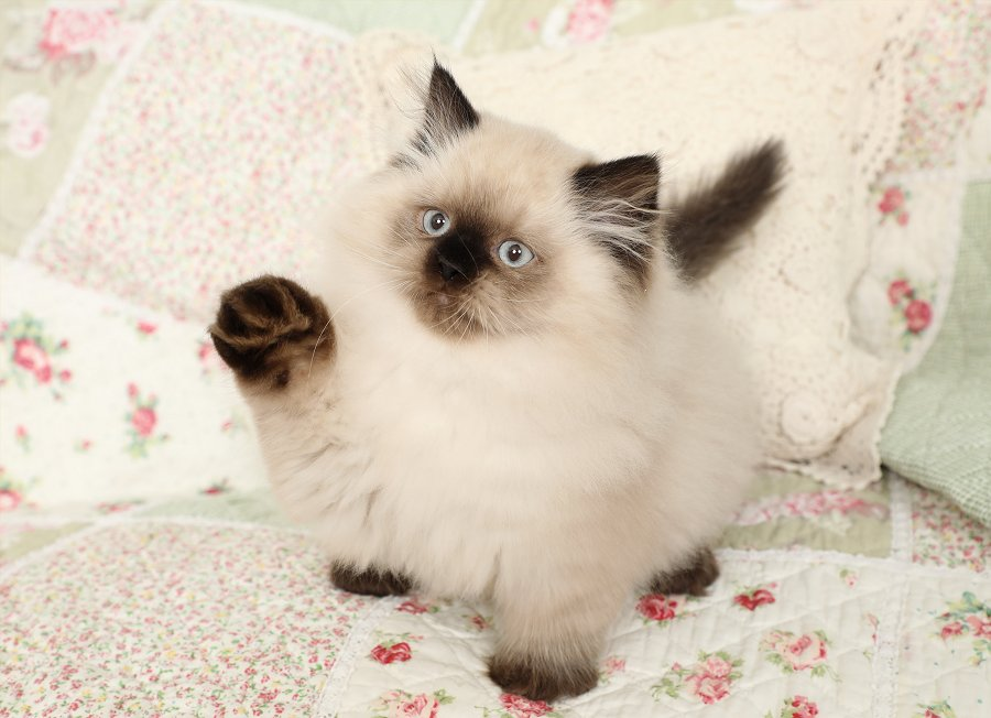Seal Point Himalayan Kitten For Sale - Doll Face Persian