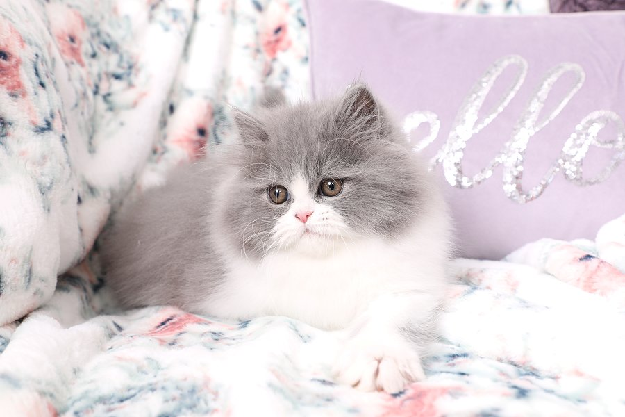 Blue and white bicolor Kitten