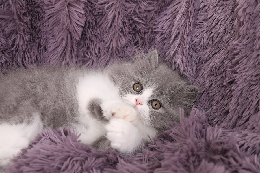 Blue and White Bicolor Persian Kitten for Sale