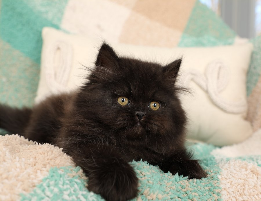 Beautiful Black Persian Kitten