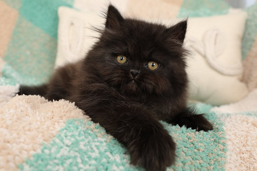 Adorable Doll Face Persian Kitten