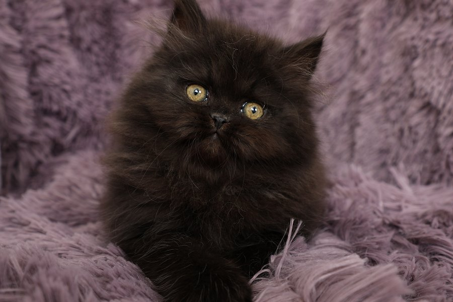 Black Doll Face Persian Kitten for Sale