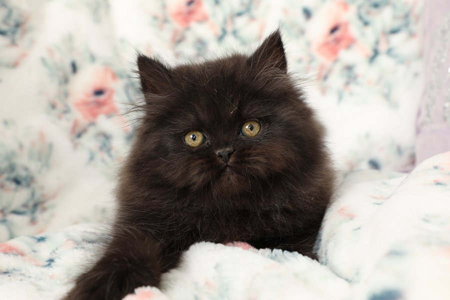 Black Doll Face Kitten