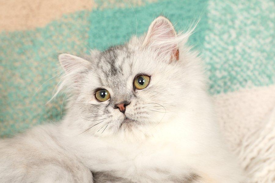 Silver Tortie Persian Kitten