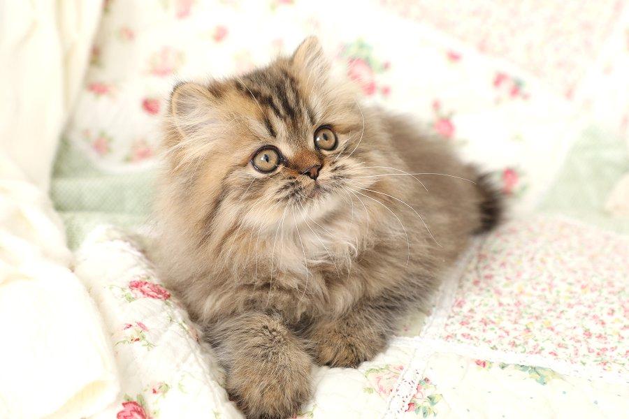 Dollface Kitten