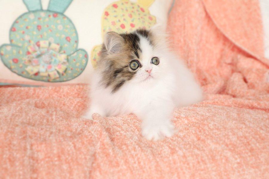 Patchwork Persian Kitten