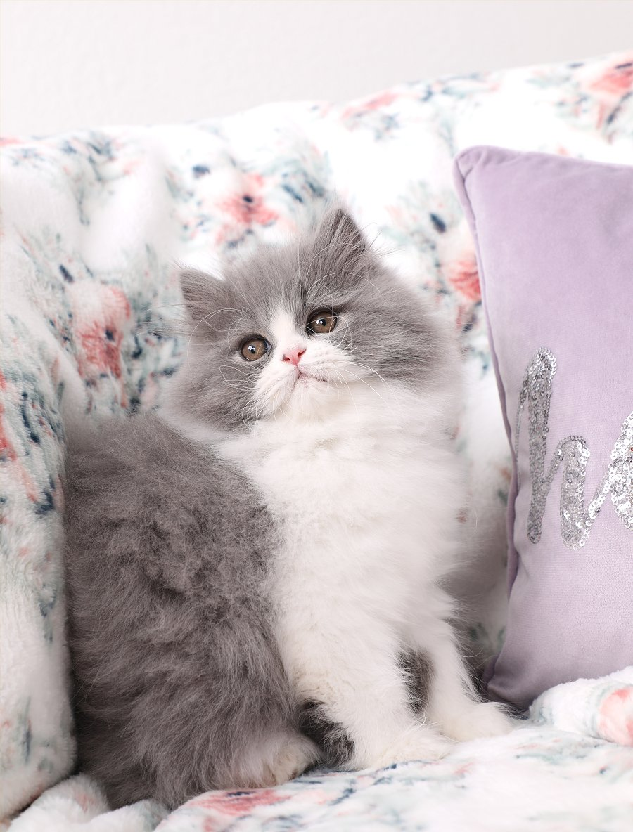 Blue and white bicolor kitten for sale