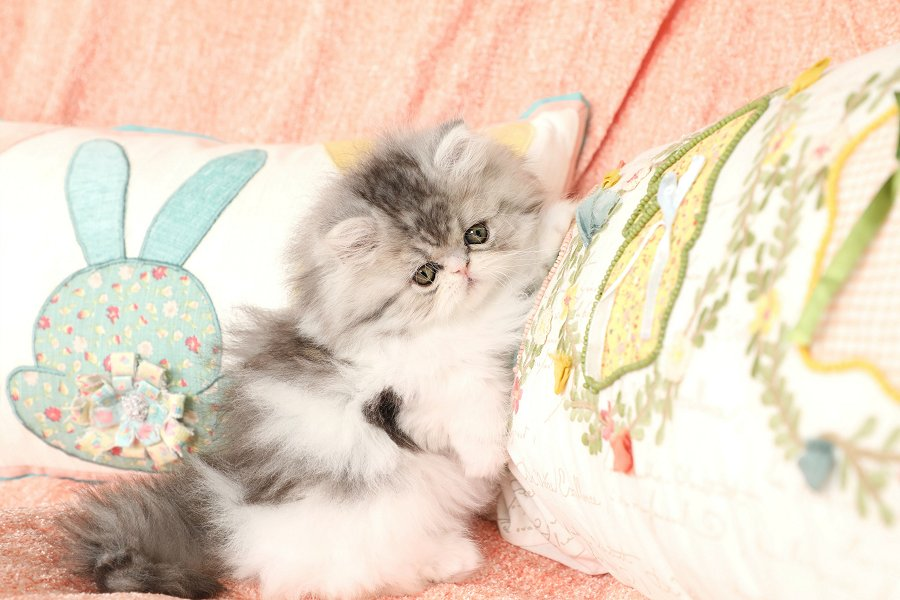 Silver Tabby and white Persian Kitten