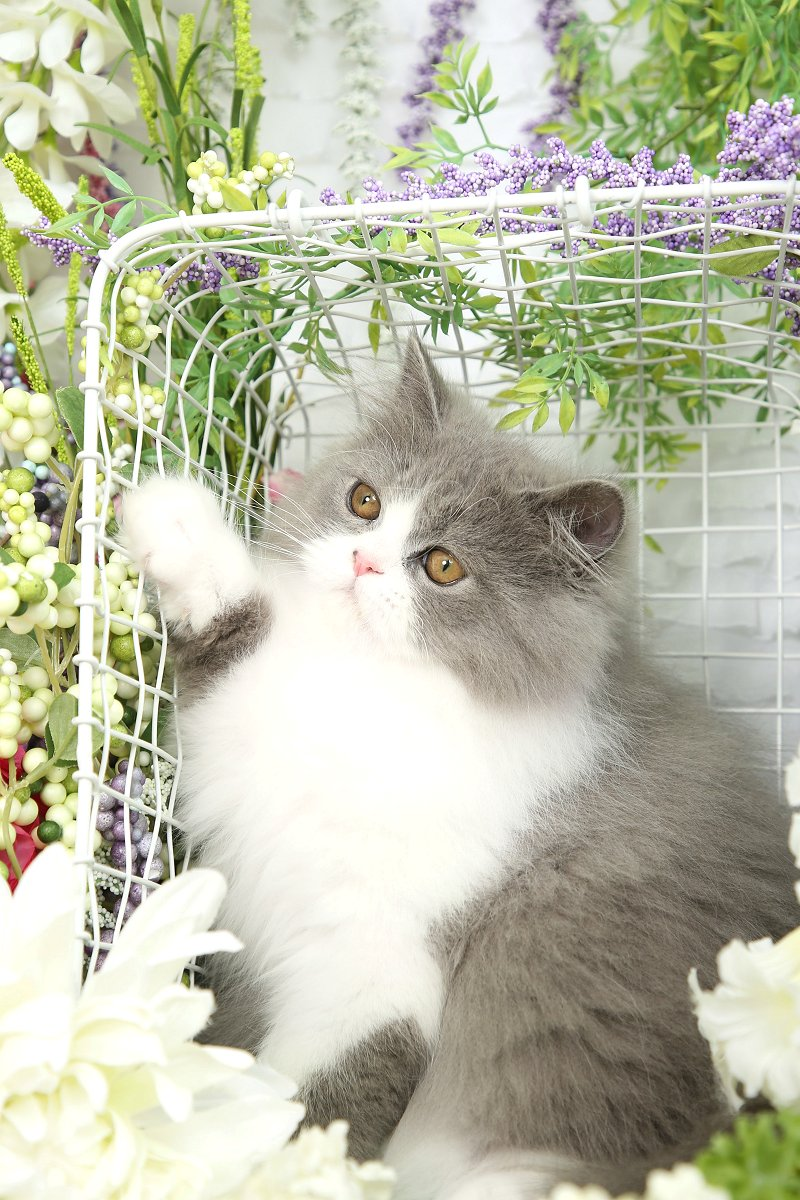 Blue and white bicolor Persian
