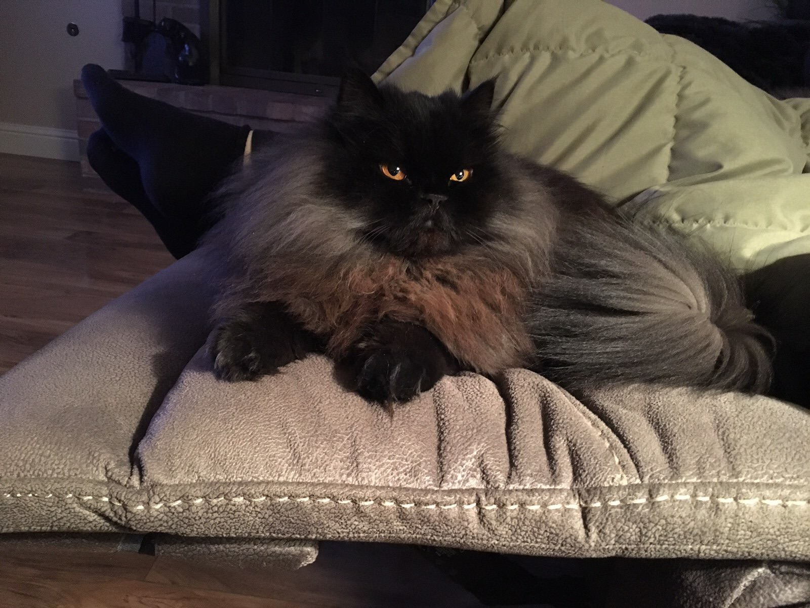 Black Persian