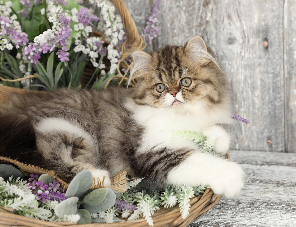 Shaded Golden Tabby & White