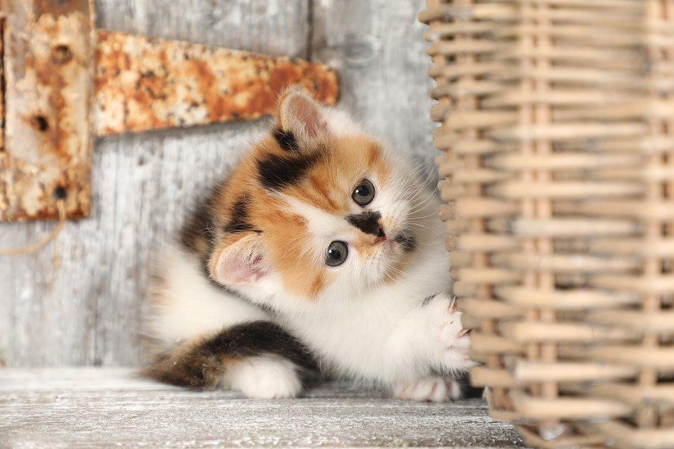 Calico Exotic Shorthair Rug Hugger Persian Kitten
