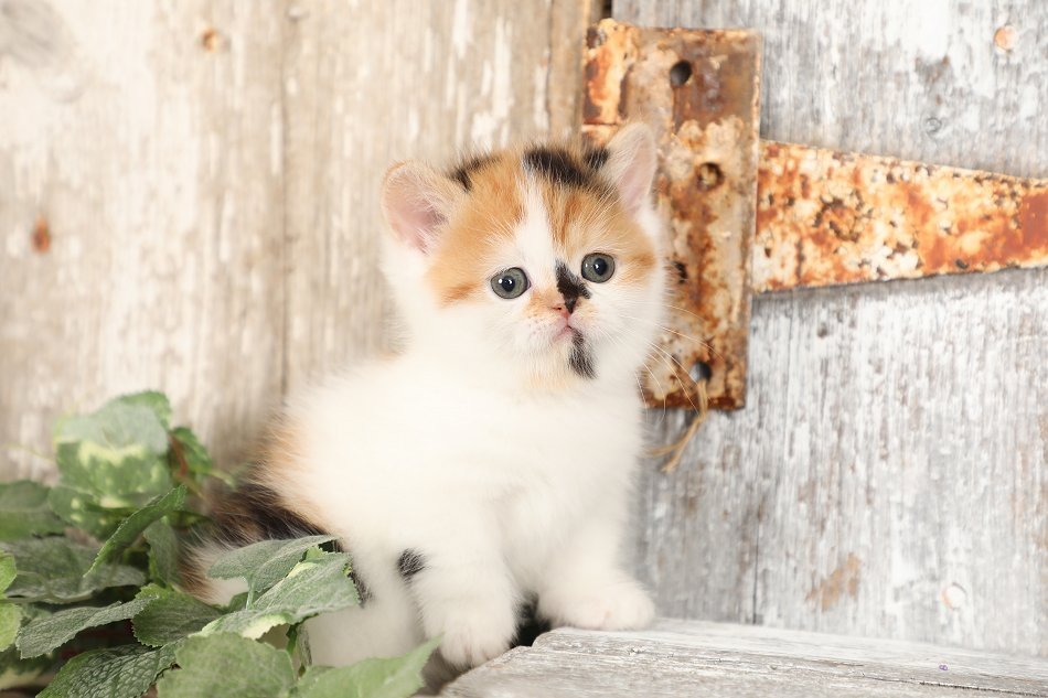 Calico Exotic Shorthair Rug Hugger Persian Kitten