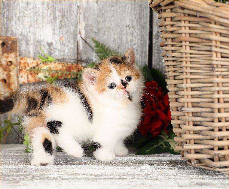 Rug Hugger Persian Kitten