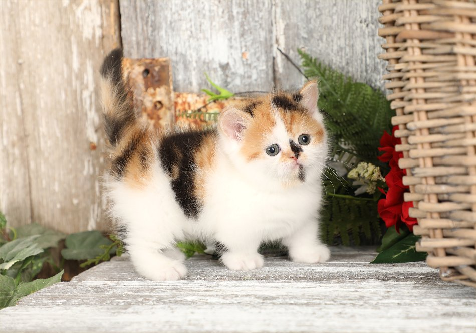 Calico Rug Hugger Exotic Shorthair Kitten