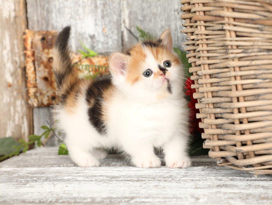 Calico Rug Hugger Kitten