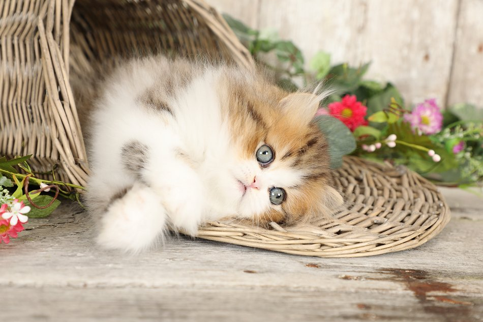 Rose Golden & White Persian Kitten